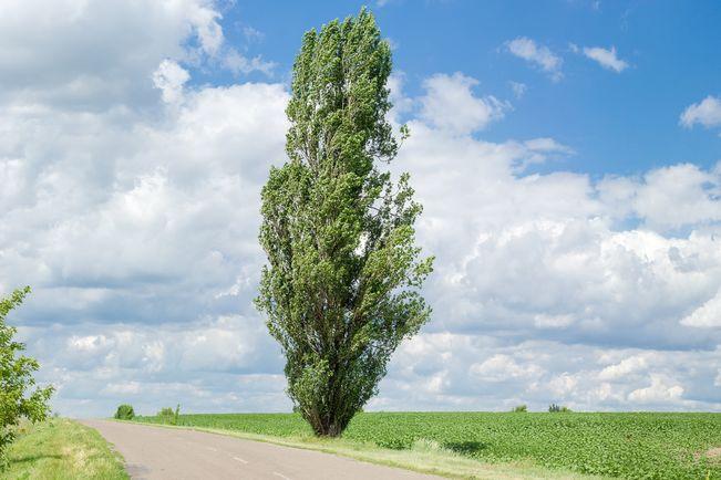U planu sadnja topola između Inđije i Jarkovaca