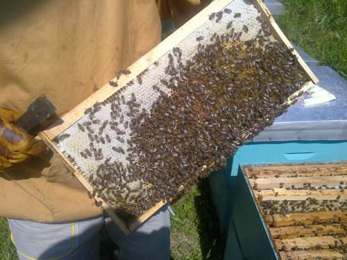 POLJO VEST Ističe rok za prijavu stanja na pčelinjaku
